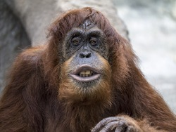 Orangutan with a funny expression.