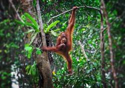orangutang in Semenggoh Wildlife Rehabilitation Centre