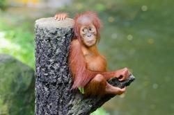 Orangutang (Pongo) baby sits on the tree