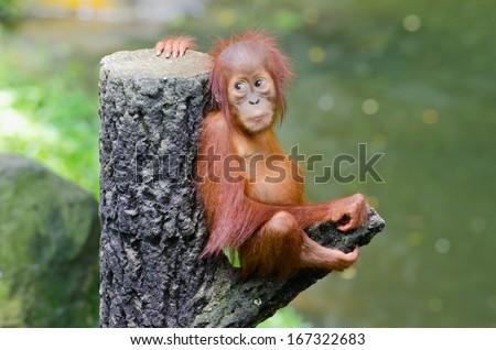 Orangutang Pongo baby sits on the tree