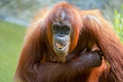 orangutans is the only asian great found on the island of Borneo and Sumatra