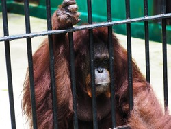 orangutans lack freedom in the cage of the Zoo.