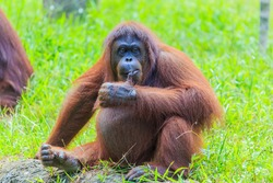 orangutans or pongo pygmaeus is the only asian great found on the island of Borneo and Sumatra