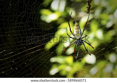 Orb spider hanging onto its web in a garden in South Africa with dead flies caught in the silken strands #589866071