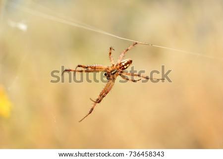 Orb weaver spider.  #736458343