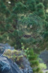 Orb-weaver spider Agalenatea redii in its web. Tamanca Protected Landscape. La Palma. Canary Islands. Spain.