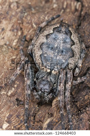 Orb-weaver spider, Araneidae camouflaged on wood, macro photo - stock photo