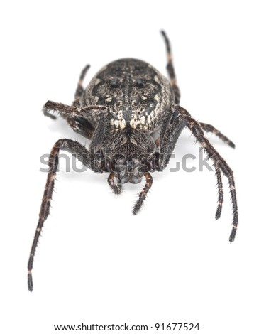 Orb-weaver spider isolated on white background, macro photo