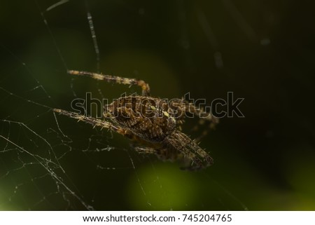 Orb weaver spider. Pattern on the back of an arachnid species. #745204765