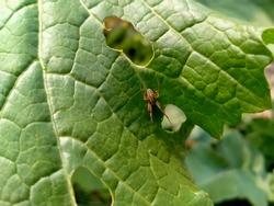 Orb-weaver spiders.Neoscona adianta. Neoscona arabesca is a common orb-weaver spider found throughout North America. .Neoscona arabesca.