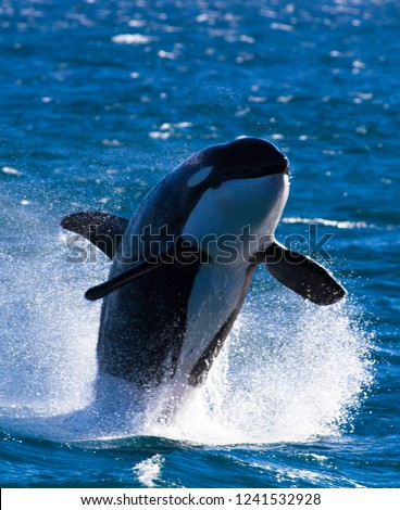 Orca leaping out of the water #1241532928