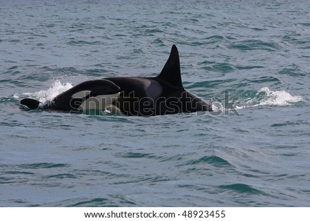 Orca or killer whale young and adult breaking the waves, Iceland, Atlantic Ocean