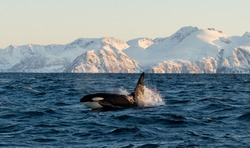 Orca (Orcinus / cetacean / killer whale)  shows his head and fin in the fjords of the lofoten in norway during whale watching