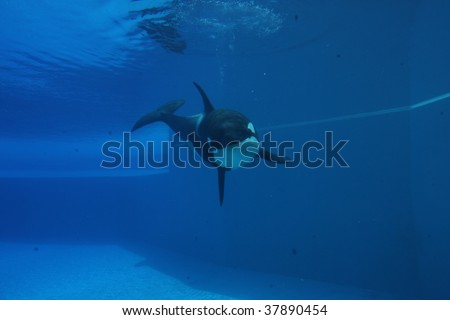 orca playing in a pool of blue water