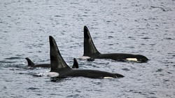 Orca pod swimming together in the ocean