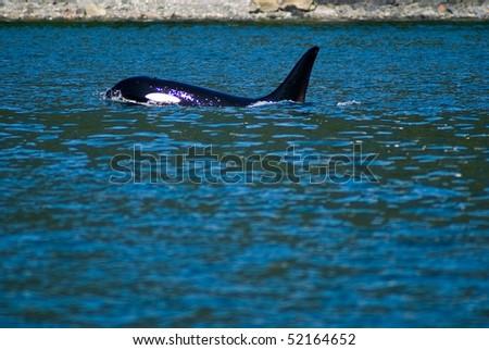 Orca pods swimming near Juneau, Alaska - stock photo