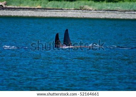 Orca pods swimming near Juneau, Alaska