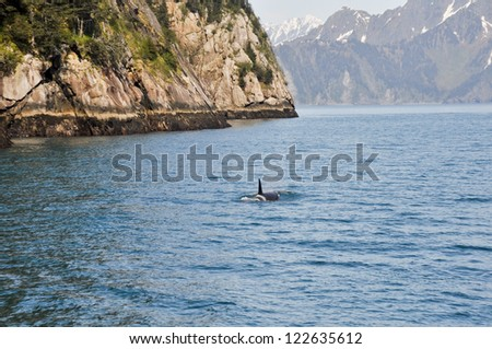 Orca Whale in Resurrection Bay, Alaska