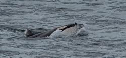 orca whales hitting sea lion