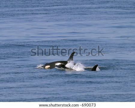 Orca Whales near San Juan Island - stock photo