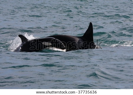 Orca with young, Westmen Isles, Iceland