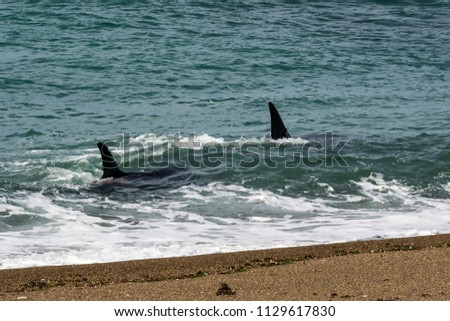Orcas hunting sea lions, Patagonia , Argentina #1129617830