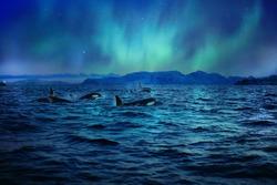 Orcas killerwhales in dark night sea under polar light on background in northen ocean water