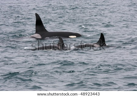 Orcas or killer whales, Iceland, Atlantic Ocean