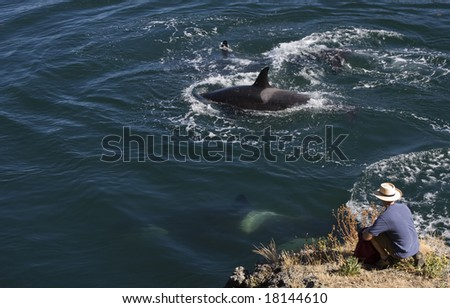 Orcas or killer whales in the wild swim by a man watching from the shoreline.