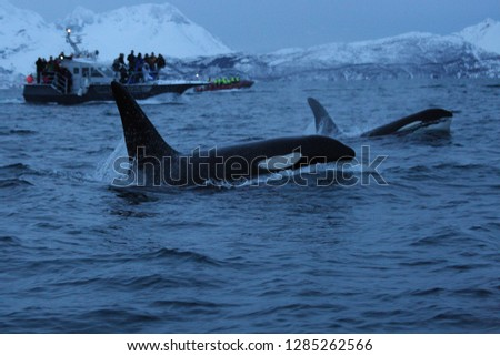 orcas or killer whales, Orcinus orca, surfacing in front of whale watchers off Skjervoy, Norway, Atlantic Ocean