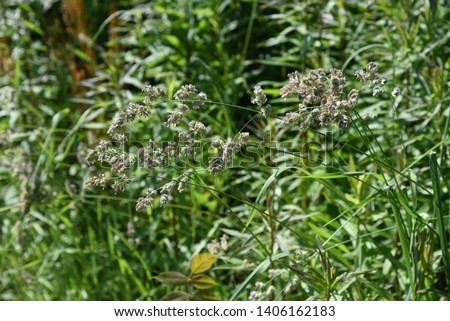 Orchard grass (Dactylis glomerata) is the cause of hay fever. #1406162183