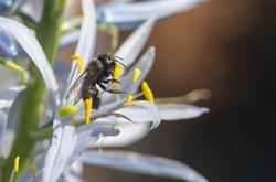 Orchard Mason Bee (Osmia lignaria) collecting pollen on a rare Camas flower (Camassia cusickii)