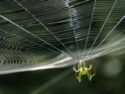Orchard Orbweaver Spider on the web, photo taken in Taiwan