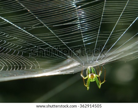 Orchard Orbweaver Spider on the web, photo taken in Taiwan #362914505