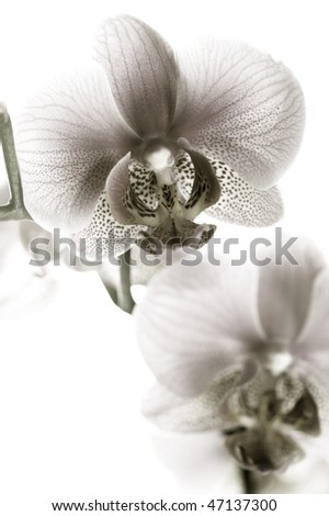 Orchid black and white