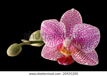 orchid blossom over black with room for copy
