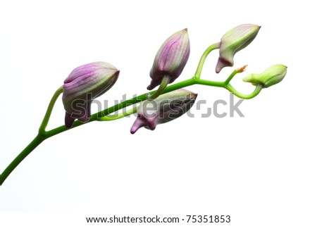 Orchid bud isolated on white background