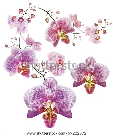 Orchid Flower on Orchid Flower Border Stock Photo 59222572   Shutterstock