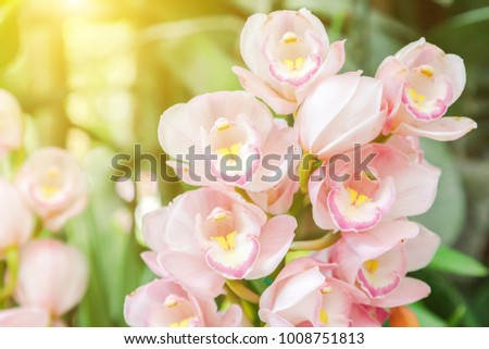 Orchid flower in garden at winter or spring day for postcard beauty and agriculture idea concept design. Cymbidium Orchid.