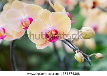 Orchid flower in orchid garden at winter or spring day for beauty and agriculture concept design. Phalaenopsis orchid #1351674308
