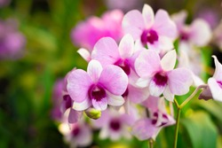 Orchid flower in orchid garden at winter or spring day. Orchid flower for postcard beauty and agriculture design. Beautiful orchid flower in garden, in full bloom in farm, on green nature blur backgro