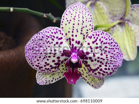 Orchid flower in tropical garden close up.Phalaenopsis.Floral background. Selective focus.