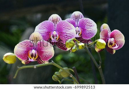Orchid flower in tropical garden.Phalaenopsis Orchid flower growing on Tenerife,Canary Islands.Orchids.Floral background.Selective focus.