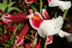 Orchid flower with large white lip petal, Oncidiinae hybrid subtype, commercial name Cambria.