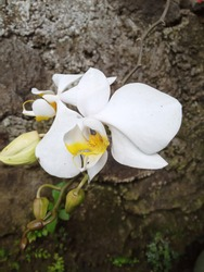 Orchid flower with natural stone background. Phrodite's moth orchid. Phalaenopsis aphrodite.