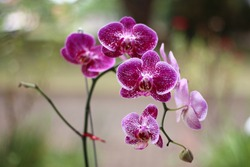 orchid flower with purple color and green background. orchids are beautiful and elegant.