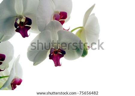 Orchid flowers on a white background. Isolated object. Background for graphic design