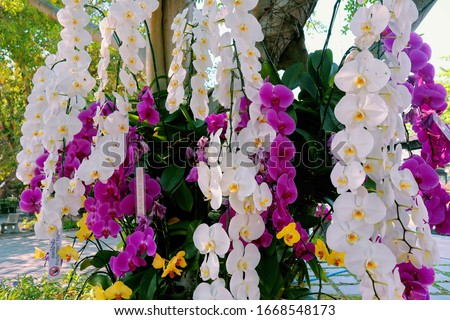 Orchid garden. Orchidaceae. orchids are available in purple, white, yellow. Beautiful flower garden. beautiful orchids. Chiang Mai, Thailand. white and purple flower. Phalaenopsis Orchids. Сток-фото ©