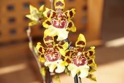 Orchid hybrid Cambria Odontoglossum Wild Cat