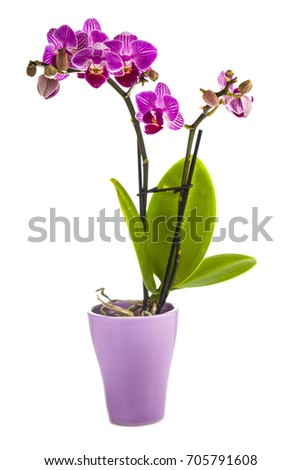 Orchid in pot isolated on white background. Beautiful indoor flowers close-up. Gift.